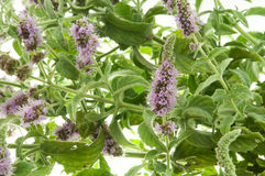 Mentha Arvensis Royalty Free Stock Image