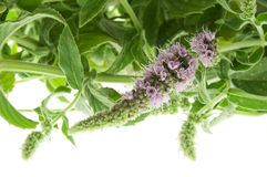Mentha Arvensis Royalty Free Stock Photography