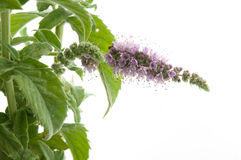 Mentha Arvensis Stock Photography