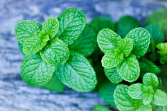 Mentha cordifolia ,peppermint Royalty Free Stock Photo