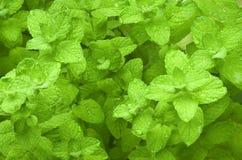 Mentha herb Royalty Free Stock Photo