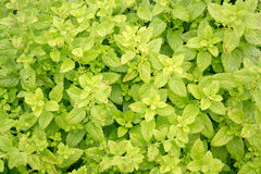 Mentha herbs Royalty Free Stock Photos