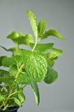 Mentha longifolia Anlage auf grauem Wandhintergrund Lizenzfreie Stockfotografie