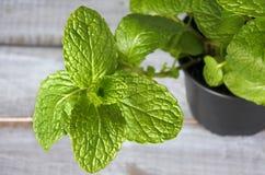 Mentha longifolia plant Royalty Free Stock Images