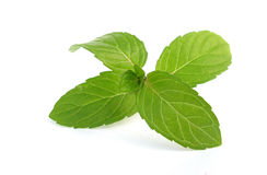 Mentha mint leaves Stock Photography