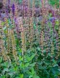 Mentha na flor Imagem de Stock