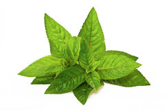 Mentha piperita Royalty Free Stock Image