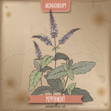 Mentha piperita aka peppermint color sketch on vintage background. Royalty Free Stock Photos