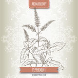 Mentha piperita aka peppermint sketch on elegant lace background. Stock Images