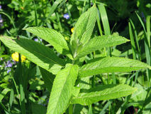 Mentha piperita. Freshen breath and encourages the body Royalty Free Stock Photography