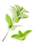 Mentha piperita - Peppermint. Oil has been used historically for numerous health conditions, including common cold symptoms, cramps, headache, indigestion Stock Images