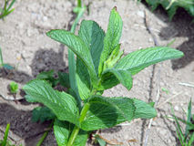 Mentha piperita Stock Images
