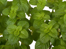 Mentha plant Stock Image