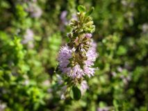 Mentha pulegium Pennyroyal  mountain mint. Closeup of medicinal plant on a blurred background royalty free stock image