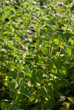 Mentha spicata (grüne Minze, Stangen-Minze) Lizenzfreie Stockbilder