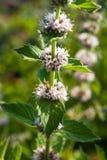 Mentha spicata (grüne Minze, Stangen-Minze) Lizenzfreies Stockbild