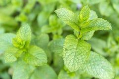 Mentha spicata (Spearmint) Zdjęcie Stock