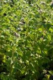 Mentha spicata (Spearmint, Spear Mint). Plants of Mentha spicata (Spearmint, Spear Mint Royalty Free Stock Images