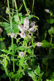 Mentha suaveolens Stock Photography