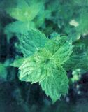Menthe Image stock