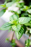Menthe Photo stock