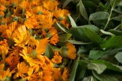 Menthe de Calendula et de poivre Photo stock
