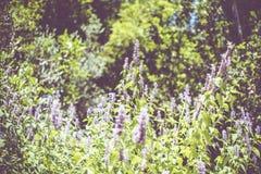 Menthe de Coréen Herbes dans le jardin photos stock