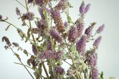 Menthe de floraison Image stock