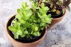 Menthe du cru et aromatique d'herbe dans le vieux pot d'argile Photo stock