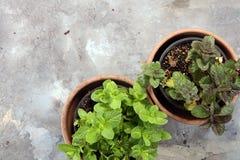 Menthe du cru et aromatique d'herbe dans le vieux pot d'argile Photos libres de droits