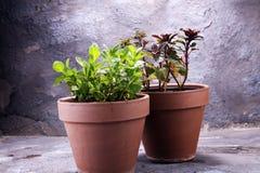Menthe du cru et aromatique d'herbe dans le vieux pot d'argile Photos stock