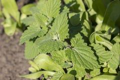 Menthe Feuilles en bon état fraîches dans le jardin Image stock