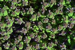 Menthe fraîche avec les fleurs pourpres Images stock