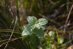 Menthe poivrée sauvage dans l'herbe Photographie stock
