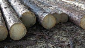 A mentira abatida das árvores na terra Grandes logs - troncos descascados dos ramos video estoque