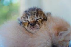 Mentira adorable del gatito dos Imagenes de archivo