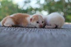 Mentira adorable del gatito dos Imagen de archivo libre de regalías