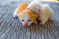 Mentira adorable del gatito dos Fotos de archivo