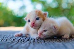 Mentira adorable del gatito dos Foto de archivo