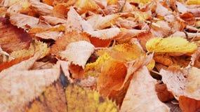 Mentira amarela caída das folhas na terra foto de stock royalty free