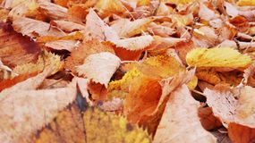 Mentira amarilla caida de las hojas en la tierra foto de archivo libre de regalías