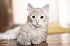 Mentira amarilla del gato Imagen de archivo