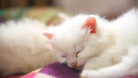 Mentira blanca del gatito de la cara grande dormida en otra metrajes