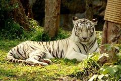 Mentira blanca del tigre en hierba en bosque Imagenes de archivo