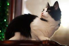 Mentira blanco y negro del gato Foto de archivo libre de regalías