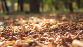 Mentira caida de las hojas de arce del otoño metrajes