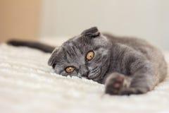 Mentira cinzenta do gato na cama Fotografia de Stock Royalty Free