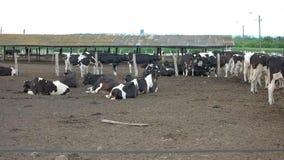Mentira das vacas na terra video estoque
