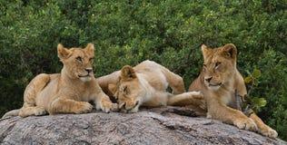Mentira de alguns leões em uma rocha grande kenya tanzânia Maasai Mara serengeti Fotos de Stock Royalty Free