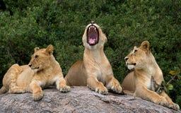 Mentira de alguns leões em uma rocha grande kenya tanzânia Maasai Mara serengeti Fotografia de Stock
